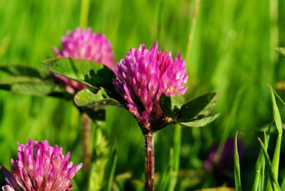 RED CLOVER EXTRACT AND ACETYL TETRAPEPTIDE-3 TO TREAT ANDROGENETIC ALOPECIA