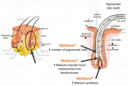 MELITANE ™, ACTIVE PRINCIPLE OF REDENHAIR ANTIGRAY LOTION